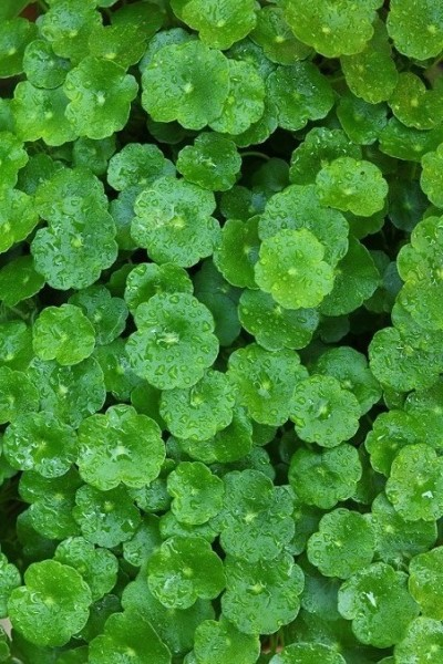 brahmi-oel-leaves-centella